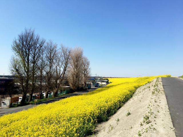 江戸川河川敷の菜の花の絨毯