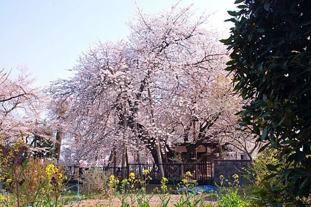 日本五大桜 石戸蒲ザクラ